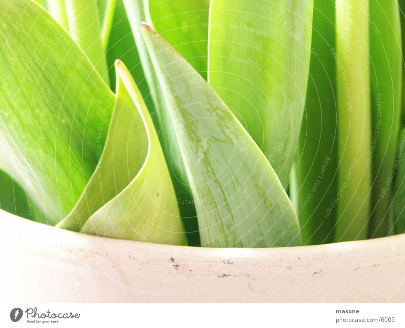Tulpe mal anders grün Blatt Vase