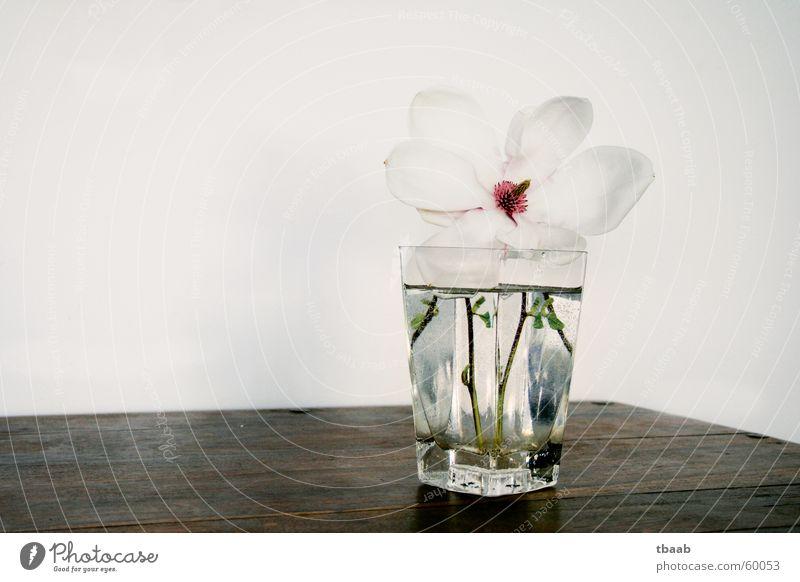 Frühlingstraum Wasser schön weiß Blume grün Sommer Blüte Frühling rosa elegant Dekoration & Verzierung Blühend Duft Vase Frühlingsgefühle Magnoliengewächse
