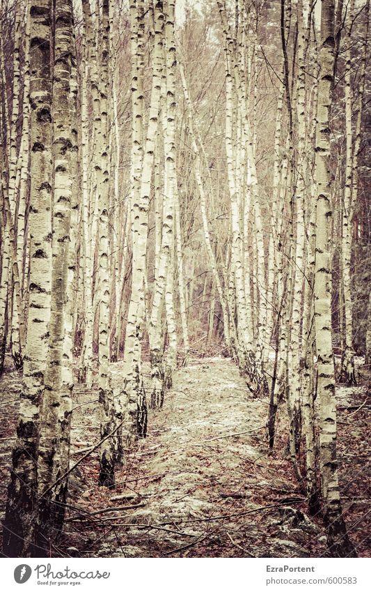 hölzerne   Kuschelgruppe Umwelt Natur Pflanze Herbst Winter Klima Baum Wald Holz Linie stehen natürlich braun schwarz weiß Zusammenhalt Zusammensein Birke