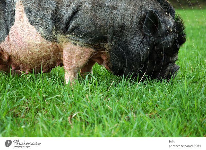 hängebauchschwein Wiese Ernährung Gras Bodenbelag Ohr Weide Fressen Schwein Nutztier Sau Eber Hängebauchschwein
