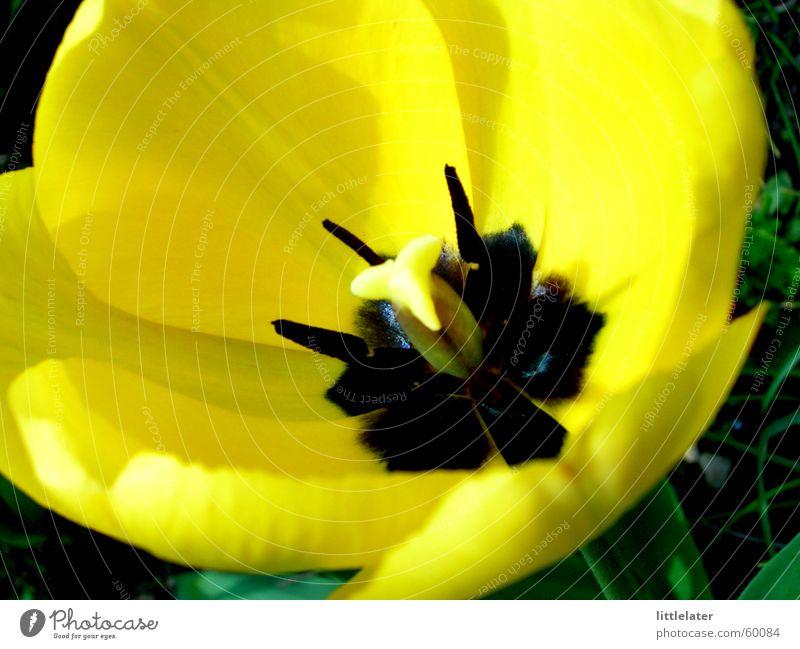 Der Frühling ist da! schön Blume gelb Tulpe