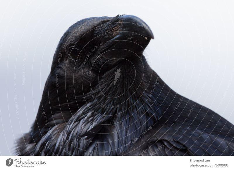 see you Tier Wildtier Vogel Tiergesicht Rabenvögel Kolkrabe Schnabel Auge 1 Blick Neugier schwarz Tierliebe Außenaufnahme Tierporträt Blick in die Kamera