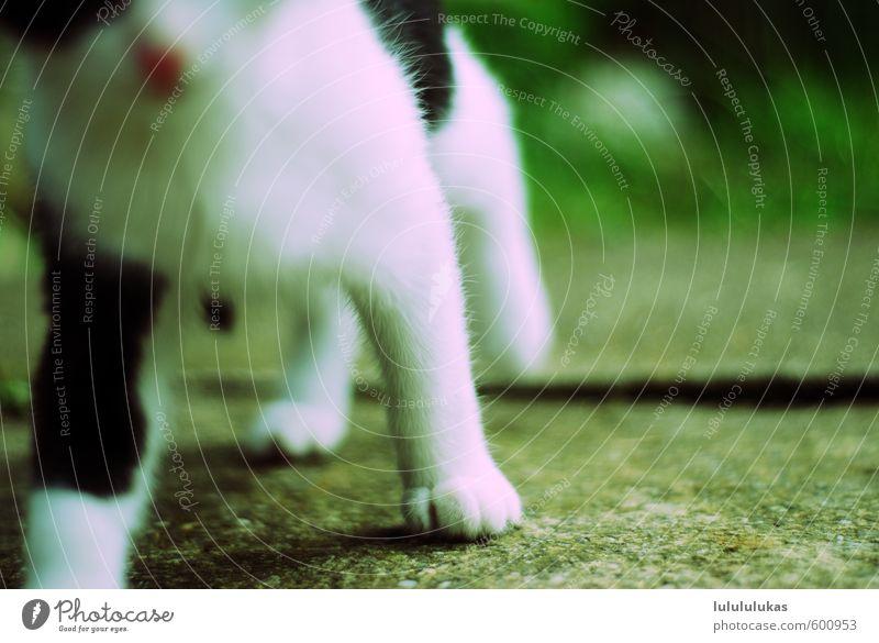 das ist eine katze. Tier Haustier Totes Tier Katze Fell Krallen Pfote 1 kuschlig Neugier niedlich süß Wärme weich schwarz weiß Vertrauen Schüchternheit