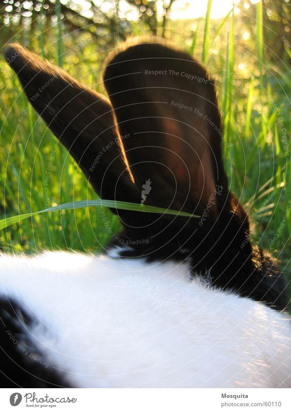 ein Hase saß im tiefen Gras... Natur weiß grün Sommer schwarz Halm Säugetier Hase & Kaninchen Haustier Tier Bildausschnitt scheckig Tierhaltung zweifarbig