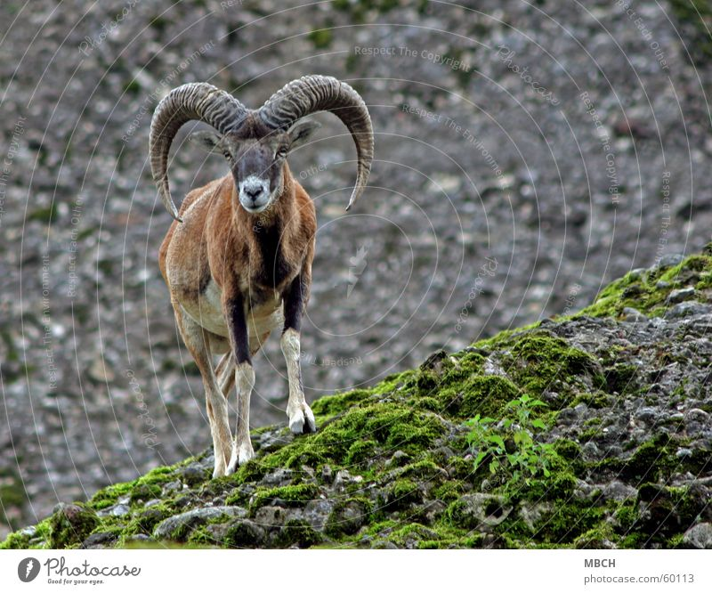 Gebirgstauglich weiß grün schwarz Auge grau Stein braun Nase Felsen verrückt Kreis Horn Schnauze Berghang Huf Mufflon