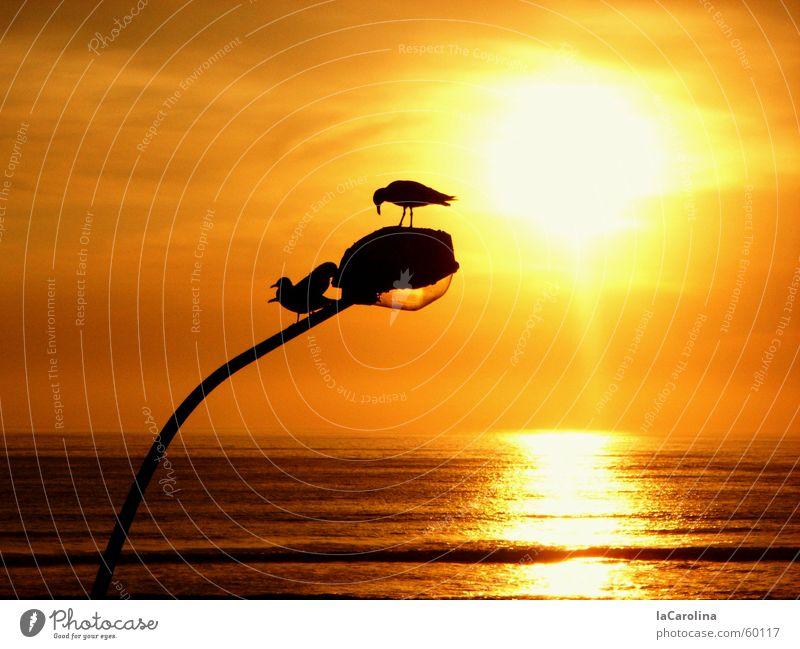 lima sunset Lima Peru Sonnenuntergang Vogel Meer Licht Romantik gelb Reflexion & Spiegelung Silhouette Laterne träumen barranco birds ocean light orange