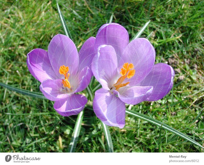 Krokus Krokusse Blume Frühling Wiese Natur Pflanze Sonne Bodenbelag