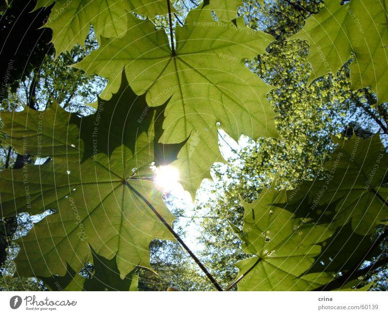Frühlingssonne im Grün Sonne grün Blatt Wald