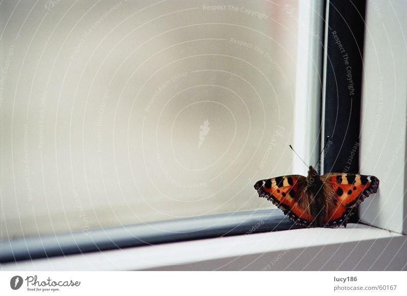 Am Fenster rot ruhig schwarz Einsamkeit gelb orange Ecke Schmetterling Fleck Fühler Rahmen Fensterrahmen Admiral