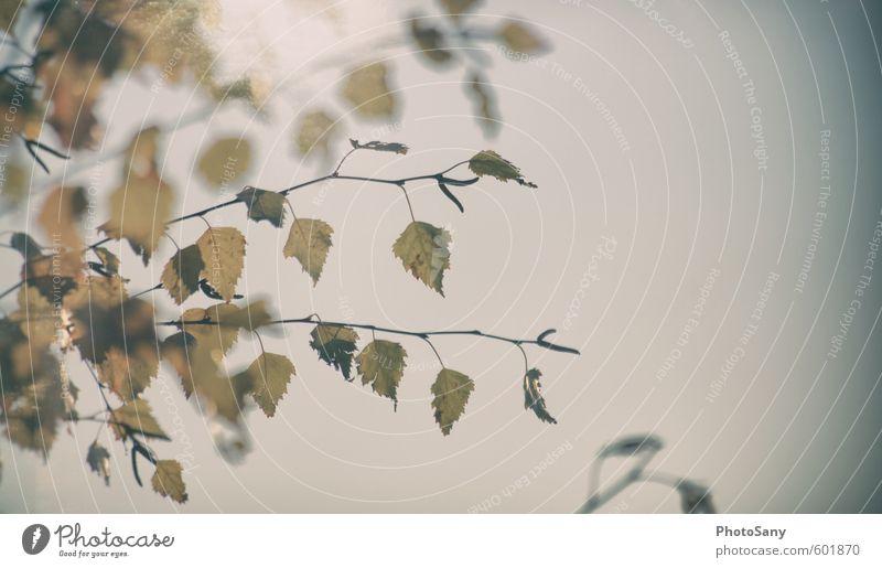 Der Winter tarnt sich gut als Herbst Natur blau alt Pflanze Baum gelb Herbst natürlich Verfall Herbstlaub Grünpflanze verblüht Birke dehydrieren