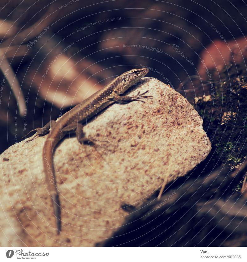 Mini-Saurier Natur Tier Erde Herbst Moos Felsen Wildtier Reptil Echte Eidechsen 1 dunkel Stein Farbfoto Gedeckte Farben Außenaufnahme Menschenleer Tag Schatten