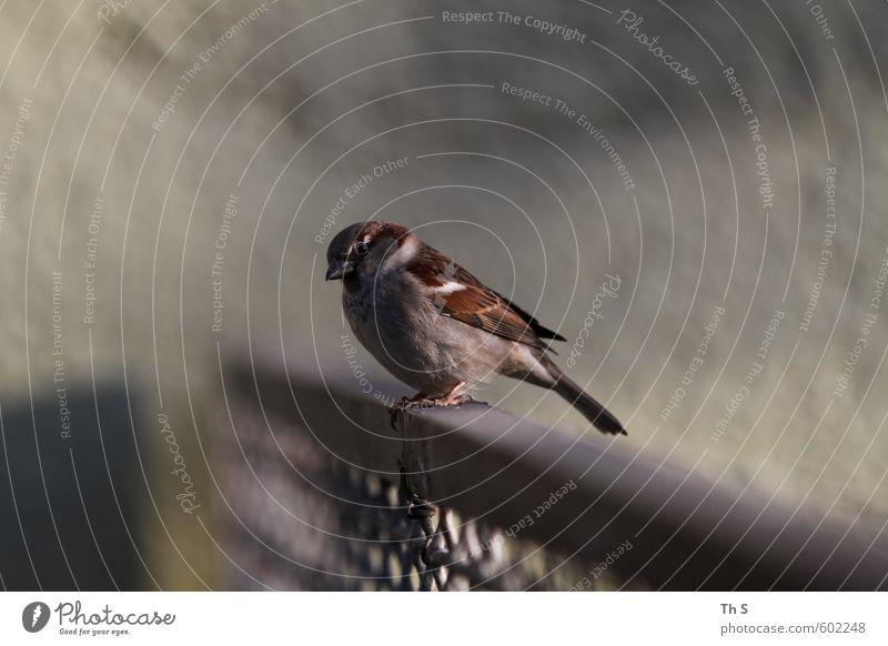 Spatz Tier Wildtier Vogel 1 beobachten warten frei Stadt Gelassenheit geduldig ruhig Selbstbeherrschung Freiheit einzigartig Selbstständigkeit Umwelt Natur Zaun