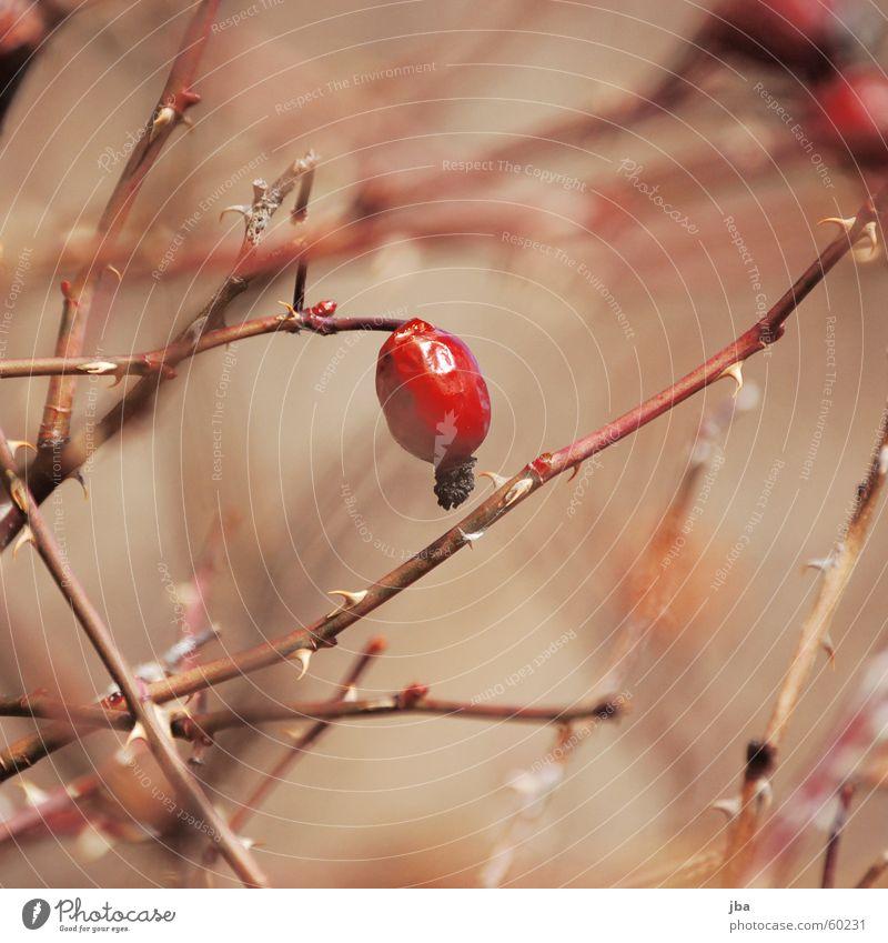 Wildwuchs Sträucher Pflanze rot Unschärfe Tiefenschärfe Natur Stachel Hundsrose Dorn stachelig Zweig