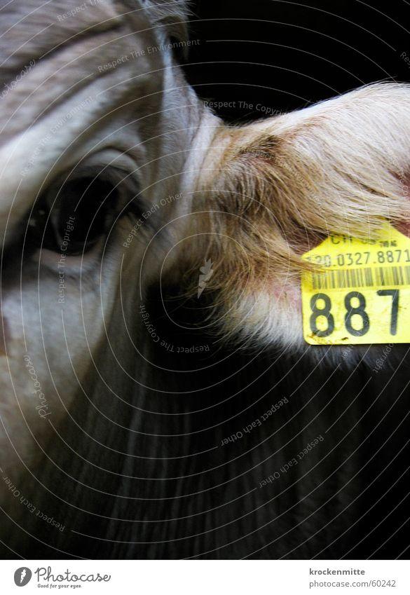 K-U-H-887 Tier gelb Schilder & Markierungen Ziffern & Zahlen Falte Fell Bauernhof Kuh Wimpern zählen Kalb Wirtschaft Rind Norm Mathematik