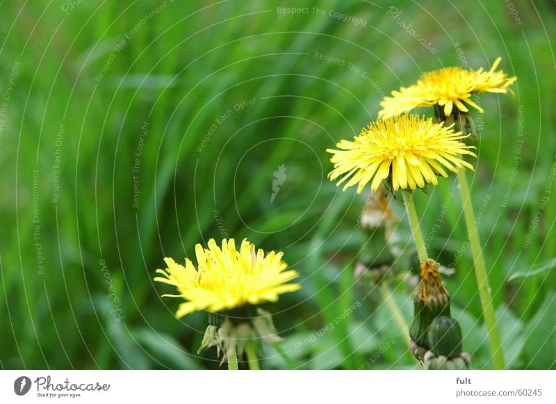 löwenzahn Natur gelb Wiese Blüte Gras Frühling frisch Löwenzahn Mensch