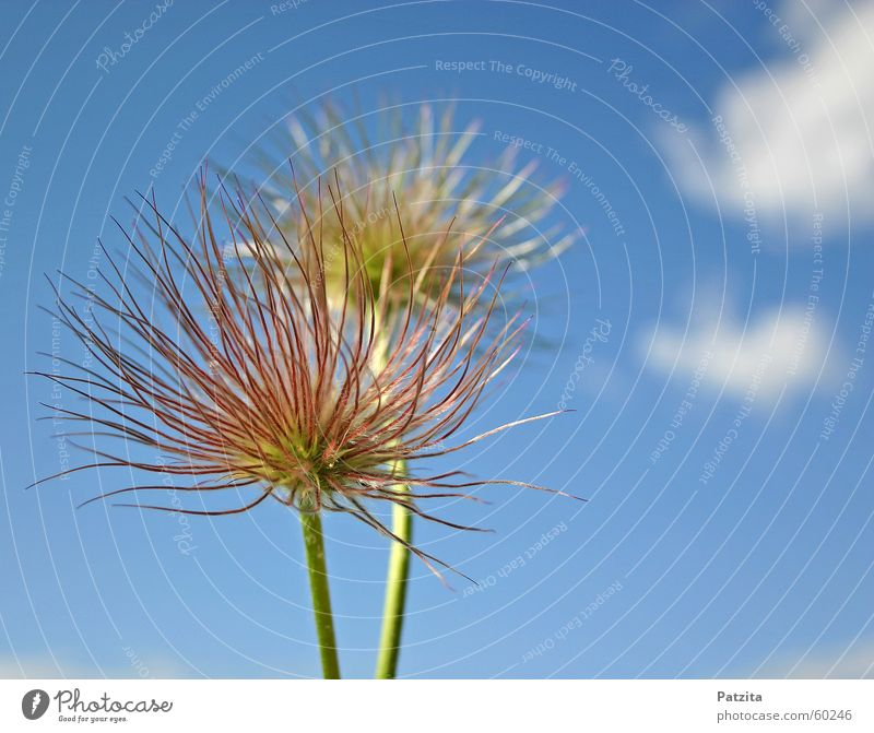 Strubelpeter Himmel blau weiß grün Pflanze Sonne Sommer Blume Wolken Wiese Gras Frühling Feld Frühlingsblume Kuhschelle