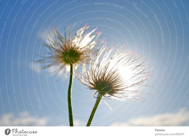summer styling Blume Pflanze Frühling Frühlingsblume Kuhschelle Wolken weiß Sommer mehrfarbig grün Wiese Gras Feld Himmel blau flower flowers spring flower