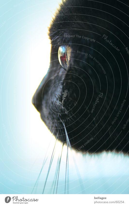 blick ins leere Katze schwarz weiß Miau Tier Barthaare Schnurren Blick fixieren hypnotisieren Seite Fell Oberlippenbart Aussicht tierisch Glasauge erleuchten
