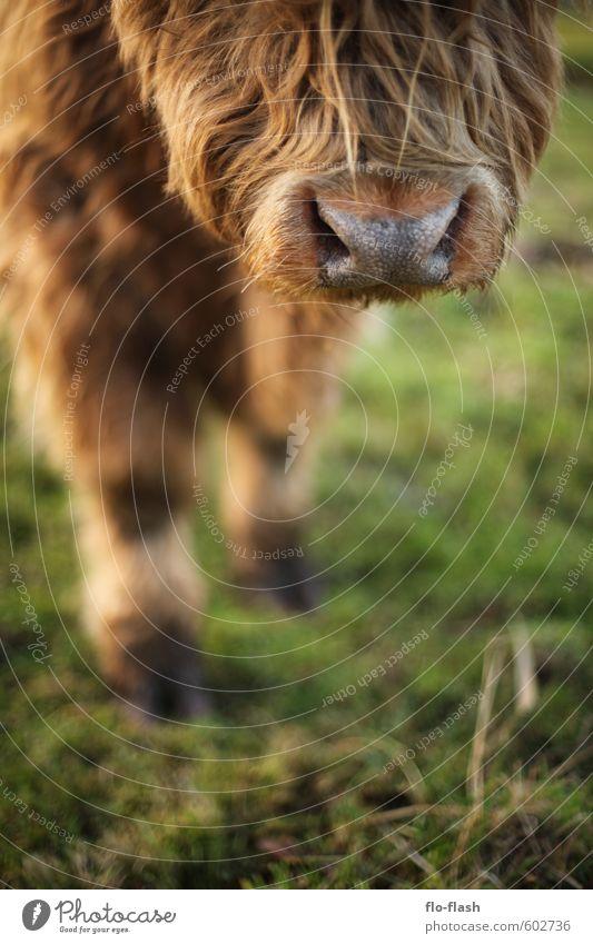 Tierhaarallergie? Pelzmantel Fell Haare & Frisuren rothaarig langhaarig Vollbart Behaarung Nutztier Kuh Tiergesicht 1 Herde Diät füttern lachen stehen träumen