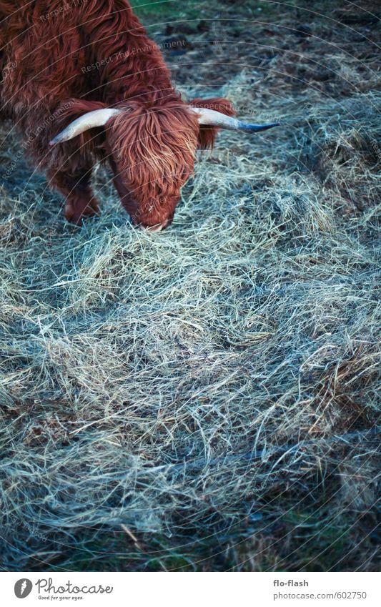Vegetarier I Tier Gras Essen natürlich Lebensmittel Fell Bioprodukte Kuh Fressen Fleisch Fasten Leder Vollbart Nutztier Vegetarische Ernährung Tierliebe