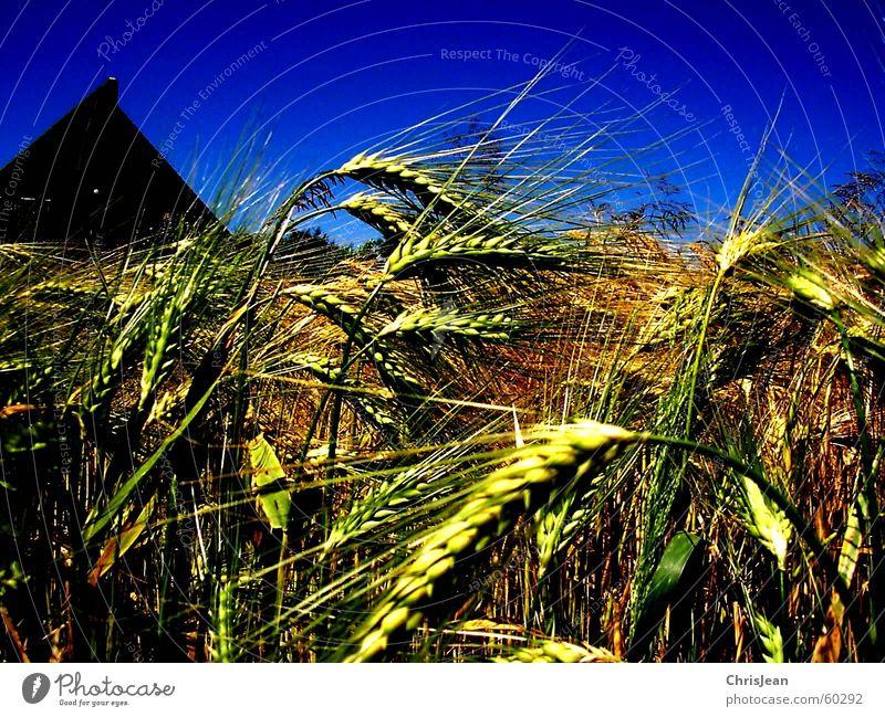 Titellos Getreide Haus Landschaft Feld Dach blau gelb Weizen Ebene Niederrhein stechend Feldarbeit Gerste Halm Ähren corn Ernte Amerika blue business corn