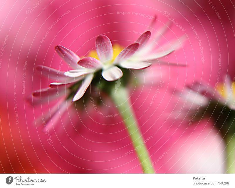 Pink Lady Gänseblümchen Blume Pflanze Wiese Gras rosa gelb grün rot weiß schön niedlich klein winzig zart Zärtlichkeiten Sommer Frühling Wolken frisch