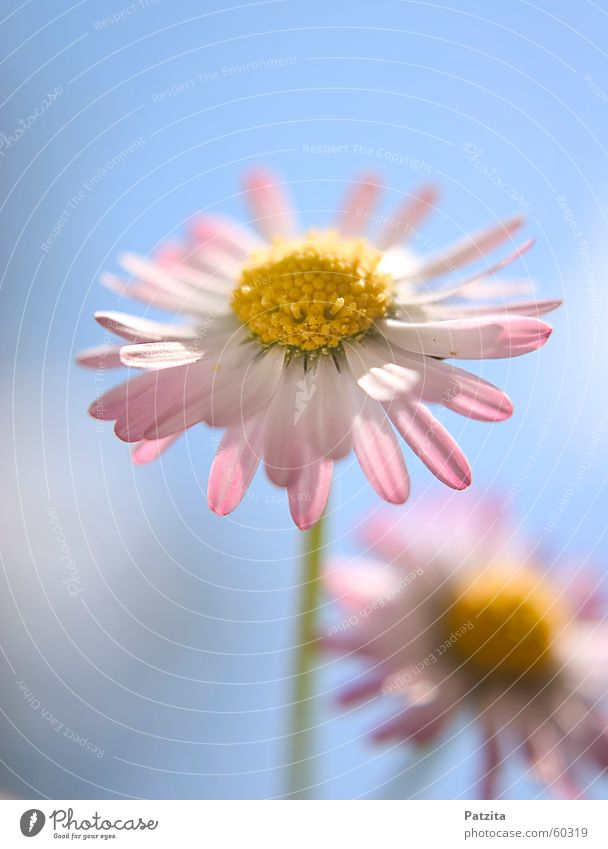 Little Pastell Beauty Gänseblümchen Blume Pflanze Wiese Gras rosa gelb grün rot weiß schön niedlich klein winzig zart Zärtlichkeiten Sommer Frühling Wolken