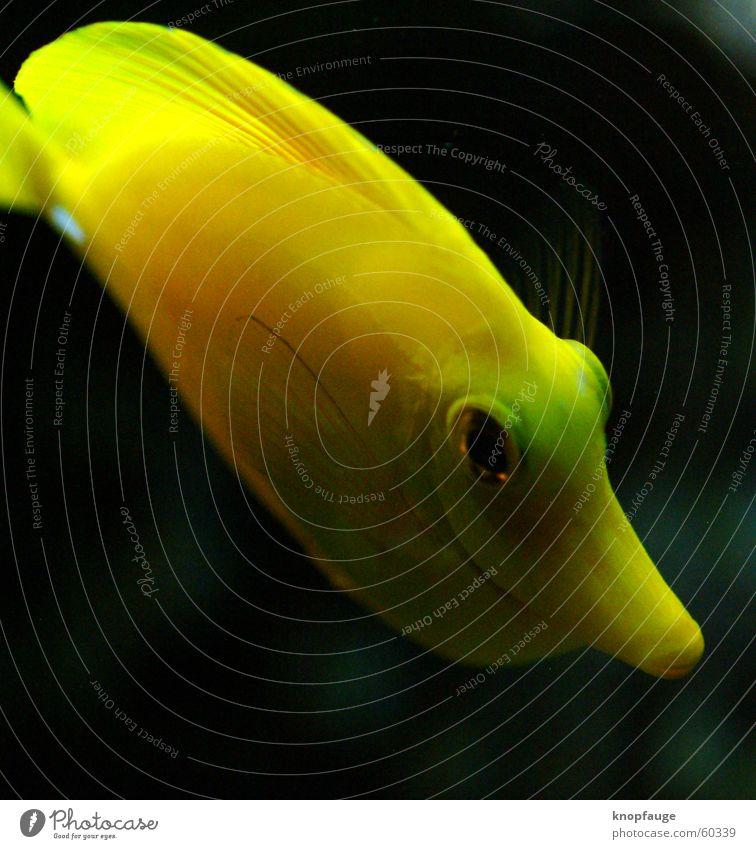 poisson Ferien & Urlaub & Reisen Meer schwarz Auge gelb Fisch Zoo Aquarium Schwimmhilfe