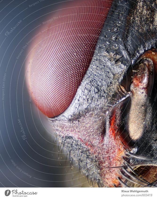 Augenblicke Tier Totes Tier Fliege 1 Blick blau braun gelb Facettenauge Mikrofotografie Farbfoto Nahaufnahme Detailaufnahme Makroaufnahme Menschenleer