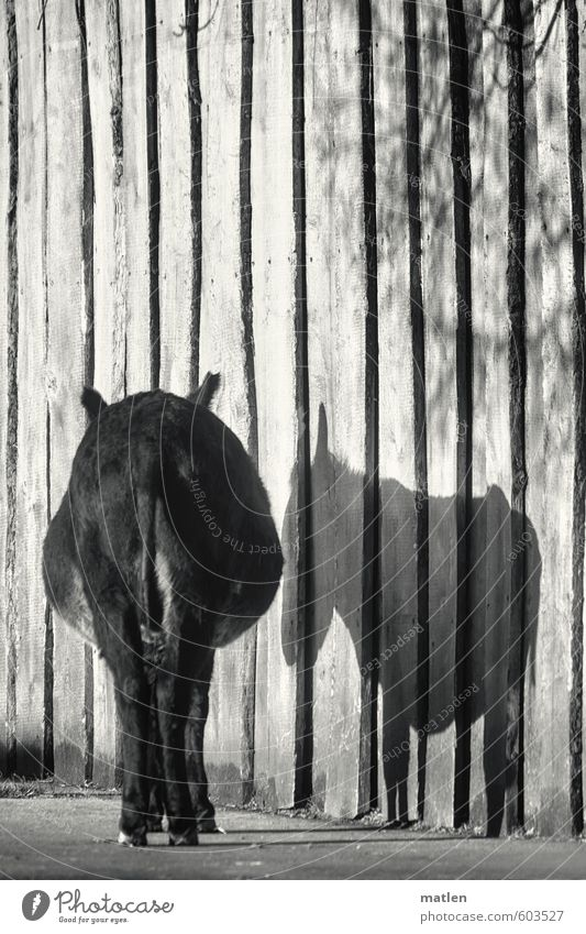 pars pro toto Mauer Wand Tier Haustier 1 stehen warten schwarz weiß Esel Gesäß Schatten Traurigkeit Trauer Einsamkeit Schwarzweißfoto Außenaufnahme Menschenleer