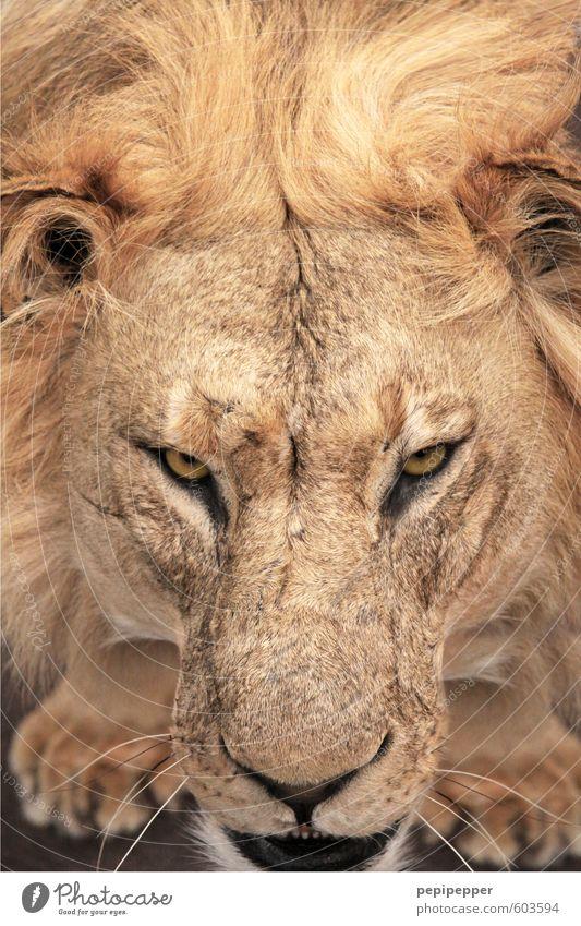 die haare schön Katze alt Tier gelb Kraft gold blond Wildtier ästhetisch bedrohlich Coolness Tiergesicht Aggression Pfote König muskulös