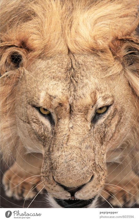 die haare schön Tier Wildtier Katze Tiergesicht Pfote Löwe Löwenmähne 1 Aggression alt ästhetisch bedrohlich blond Coolness muskulös gelb gold Kraft gereizt