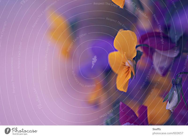 Kuschelgruppe | Stiefmütterchen Natur Farbe Pflanze Blume gelb Garten Dekoration & Verzierung Blühend Textfreiraum Romantik violett Blütenblatt Mai