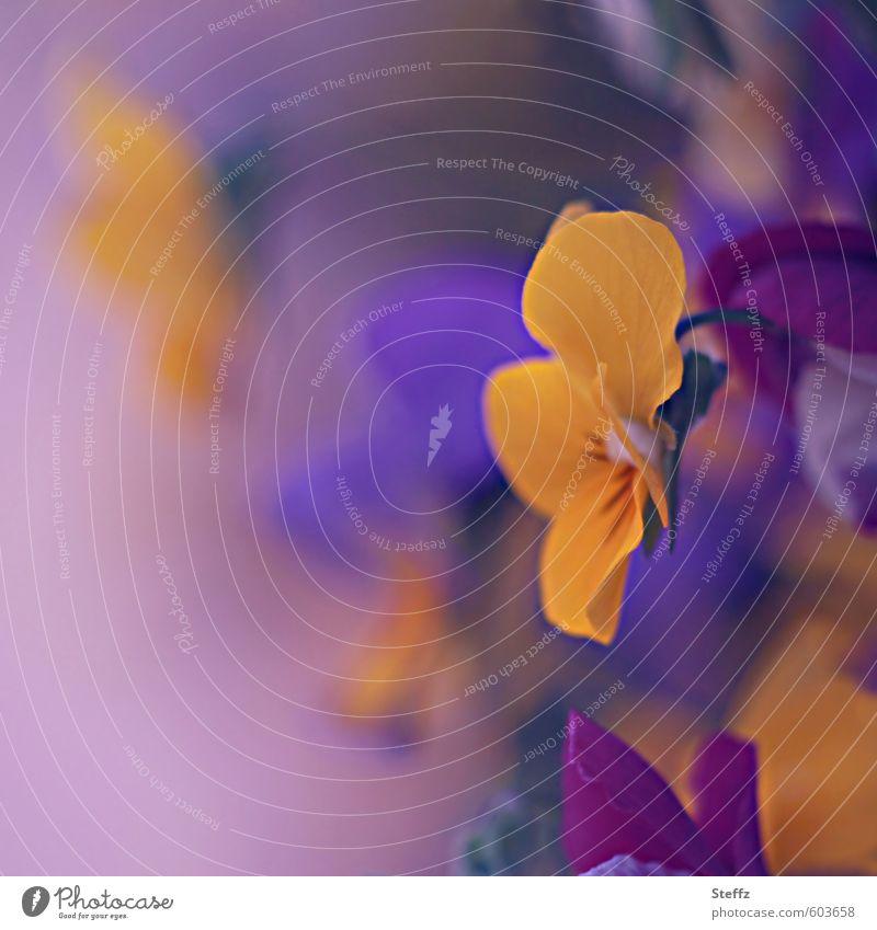 viola in lila Natur Farbe Pflanze Blume gelb Frühling Blüte Garten Idylle Dekoration & Verzierung Blühend Textfreiraum Romantik violett Mai Frühlingsgefühle