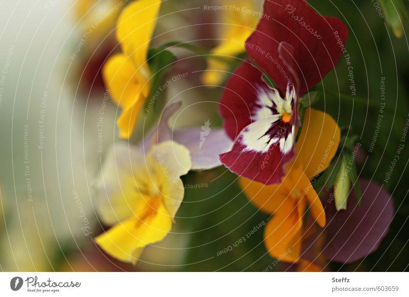 ganz unauffällig blühende Stiefmütterchen gewöhnlich heimisch Frühlingsblumen Blüte Garten gelb grün Idylle Blütenpflanze Blütenblatt Gartenpflanzen dezent