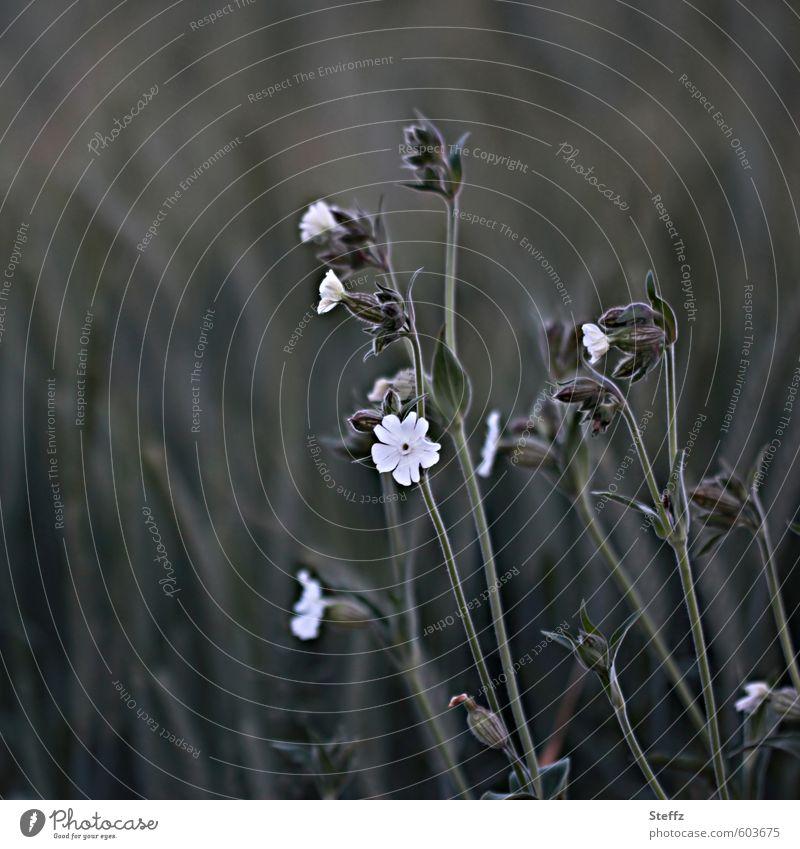 Lichtnelke am Wegesrand weiße Lichtnelke Wildblumen Wegrand Feldrand Nachtfalterblumen Feldblumen Blümchen Nachmittag Blumen Lichtpflanze Ackerrand