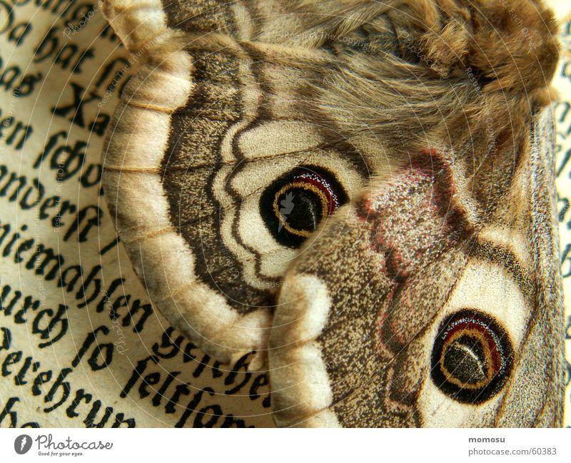 Detail Großes Nachtpfauenauge Schmetterling Buch Buchstaben lesen gelehrt Detailaufnahme Schriftzeichen alt