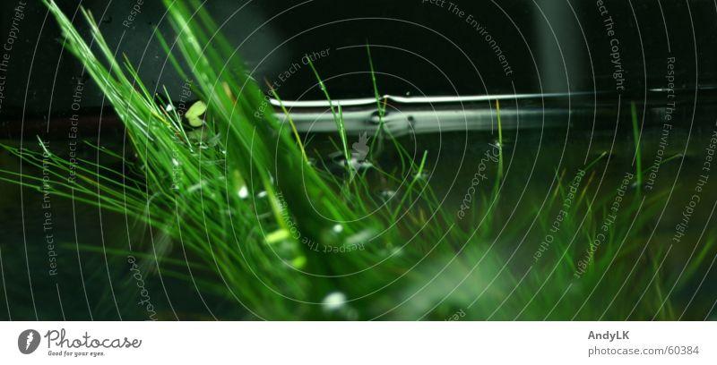 Niedrigwasser Wasser grün schwarz Wassertropfen Aquarium Wasserpflanze