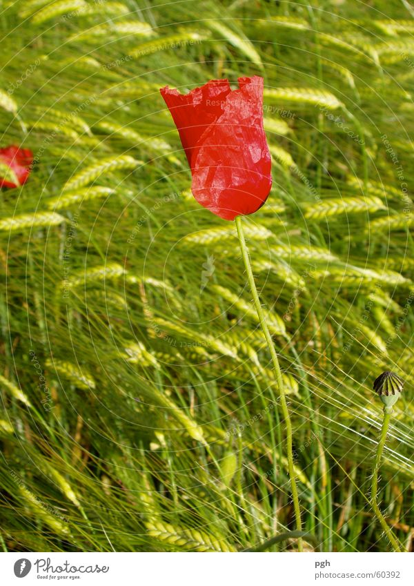 Mohnblume im Weizenfeld Blume grün rot Wiese Wind zart
