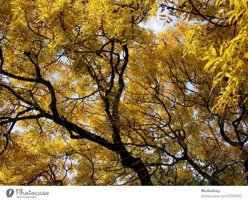 golden crown Umwelt Natur Landschaft Pflanze Himmel Wolken Herbst Schönes Wetter Baum Blatt Wildpflanze Park fallen schaukeln stehen leuchten gigantisch schön
