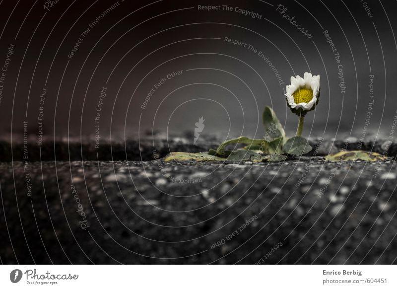 Blume in weiß und gelb (Gänseblümchen) Natur Frühling Pflanze Blüte Wildpflanze Straße Stein Unendlichkeit Kraft Gänseblume Bordsteinkante Farbfoto