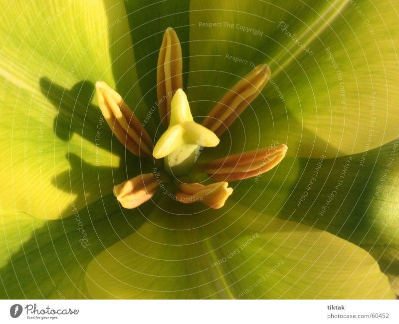 Blütenkelch Tulpe gelb grün Frühling entfalten offen Stempel Makroaufnahme
