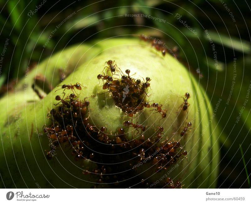 Ants paradise Ameise grün Wiese verrotten verfaulen Entsetzen hilflos kaputt Insekt ant ants Apfel meadow Ernährung ausgeliefert insect dominant
