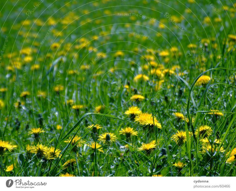 Frühlingswiese Wiese Blume Blüte Löwenzahn gelb grün Unschärfe Liegewiese Sonne Freude Detailaufnahme