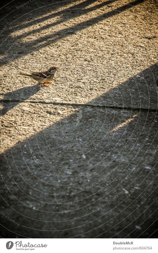 Ein Spatz an der Sonne Tier Vogel 1 Stein Beton beobachten stehen warten braun grau Lebensfreude Einsamkeit Hoffnung Zufriedenheit geduldig Gedeckte Farben
