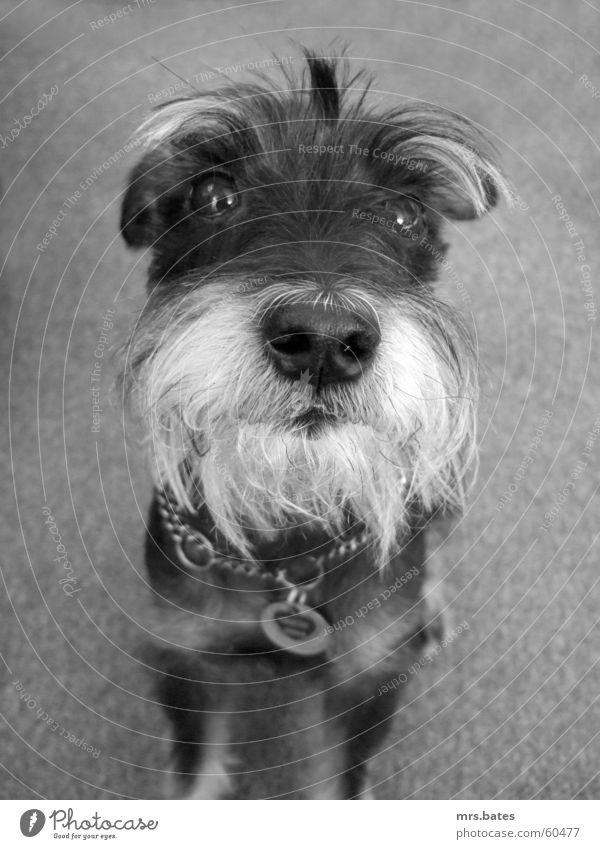 rudi Hund schnauzer Schwarzweißfoto