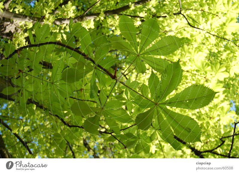Leafs Baum grün Blatt Park Kastanienbaum giftgrün