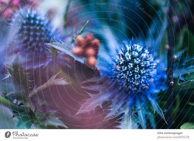 Blau Natur Pflanze Blume Blatt Grünpflanze Blumenstrauß natürlich trocken blau exotisch Distel Distelrosette Distelblüte stachelig Farbe schön pflanzlich