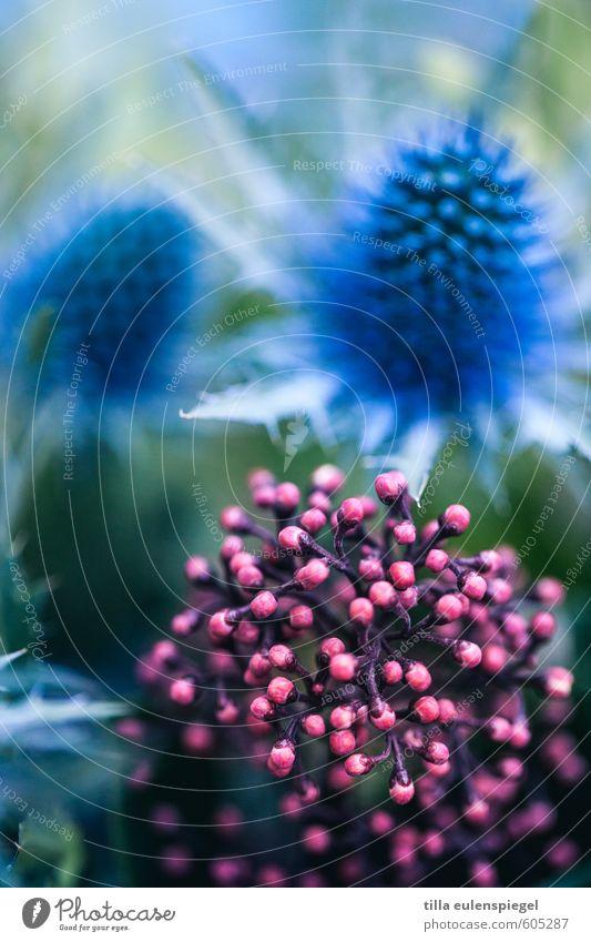 Hello again. Natur Farbe Pflanze Blume Blüte rosa wild Blumenstrauß exotisch Distel Pflanzenteile Distelblüte
