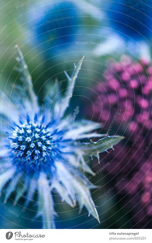 * Pflanze Grünpflanze Blumenstrauß natürlich blau rosa Farbe Natur Distel Distelrosette Farbfoto Außenaufnahme Makroaufnahme